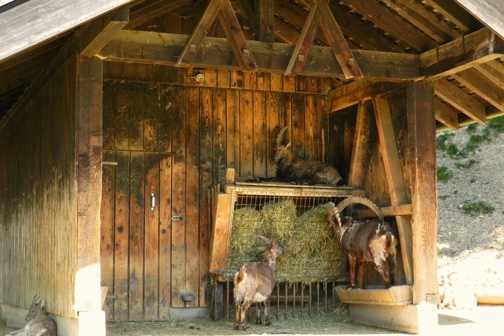 Bregenz Pfander cabras Bodensee