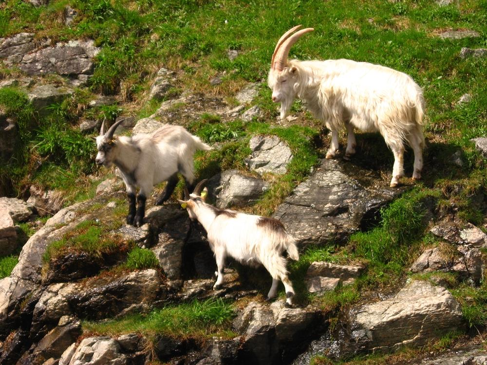 Cabras en Lysefjord
